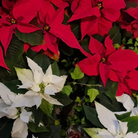 Red Christmas Star in a basket